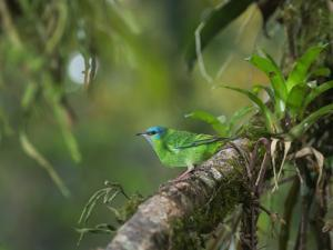 A Female Turquoise Honeycreeper or Blue Dacnis Perches in a Tree in Ubatuba by Alex Saberi