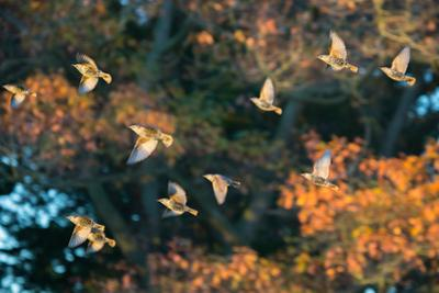 A Flock of Common Starlings, Sturnus Vulgaris, in Sunset Flight with Autumn Colored Trees