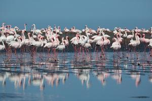 A Flock of Greater Flamingos Near Walvis Bay, Namibia by Alex Saberi