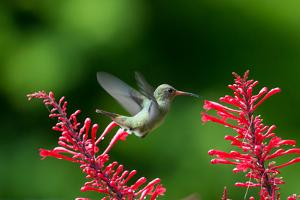 A Gilded Hummingbird Feeds from a Odontonema Tubaeforme Flower by Alex Saberi