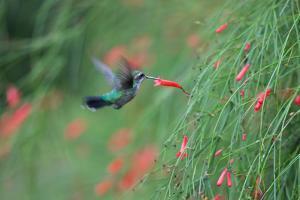A Gilded Hummingbird, Hylocharis Chrysura, Feeds Mid Air on a Red Flower in Bonito, Brazil by Alex Saberi
