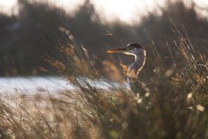 A Gray Heron, Ardea Cinerea, in Grass by Alex Saberi