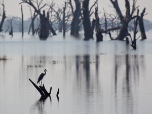 A Gray Heron, Ardea Cinerea, Rests on a Dead Tree in a Lake by Alex Saberi