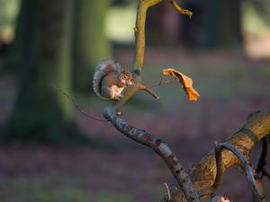 A Gray Squirrel Eats a Nut on a Fallen Tree Branch in Richmond Park by Alex Saberi
