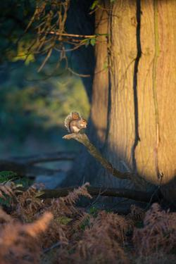 A Gray Squirrel Feeds in the Autumn Foliage of Richmond Park by Alex Saberi