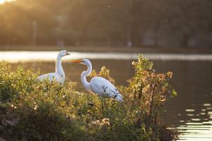 A Great Egret and Snow Goose Rest by the Lake in Ibirapuera Park at Sunset by Alex Saberi
