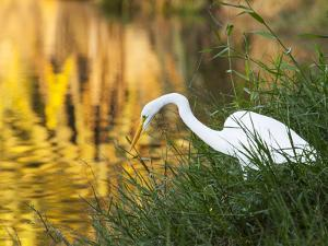 A Great Egret Fishing in Ibirapuera Park at Sunset by Alex Saberi