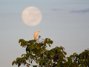 A Great Egret on a Tree Top in the Pantanal by Alex Saberi