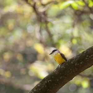 A Great Kiskadee, Pitangus Sulphuratus, Sits on a Tree Branch in Ibirapuera Park by Alex Saberi