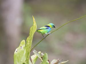 A Green Headed Tanager on a Branch by Alex Saberi