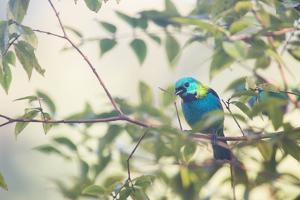A Green-Headed Tanager Perching in a Tree in Ubatuba by Alex Saberi