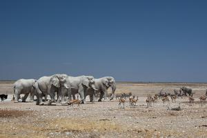 A Group of Bull Elephants, Springbok and Oryx at a Watering Hole by Alex Saberi