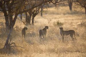 A Group of Cheetahs, Acinonyx Jubatus, on the Lookout for a Nearby Leopard at Sunset by Alex Saberi