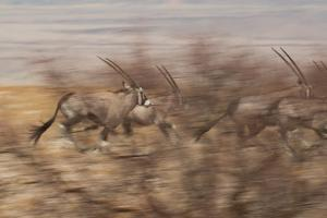 A Group of Oryx on the Run in Namib-Naukluft National Park by Alex Saberi