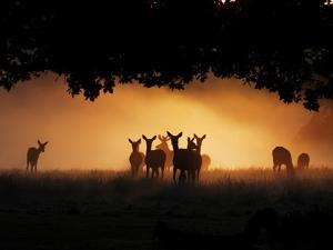 A Group of Red Deer, Cervus Elaphus, Silhouetted in Morning Glow. by Alex Saberi