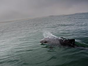A Haviside's Dolphin, Cephalorhynchus Heavisidii, Comes Up for Air in the Atlantic Ocean by Alex Saberi