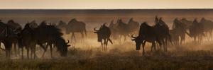 A Herd of Blue Wildebeests, Connochaetes Taurinus, Kicking Up Dust by Alex Saberi