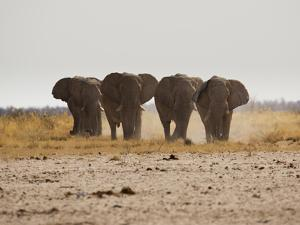 A Herd of Bull Elephants in Etosha National Park by Alex Saberi