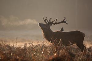 A Large Red Stag with a Jackdaw in the Early Morning Mists of Richmond Park by Alex Saberi