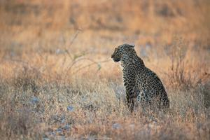 A Leopard, Panthera Pardus Pardus, Sits in Grass Aglow in the Setting Sun by Alex Saberi