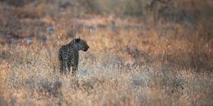 A Leopard, Panthera Pardus Pardus, Walks Through Grassland Aglow in the Setting Sun by Alex Saberi