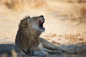 A Lion, Panthera Leo, Resting in the Shade, Lets Out a Roar by Alex Saberi