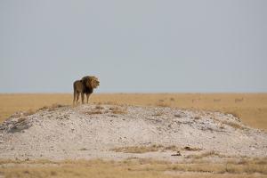 A Lion, Panthera Leo, Surveying His Territory by Alex Saberi