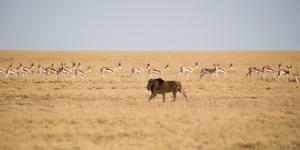 A Lion, Panthera Leo, Walks Through Grassland Past Springboks, Surveying His Territory by Alex Saberi