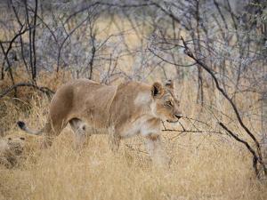 A Lioness, Panthera Leo, Walks Through Long Grass Among Trees by Alex Saberi