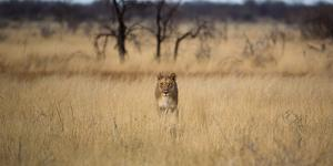A Lioness, Panthera Leo, Walks Through Long Grasses by Alex Saberi