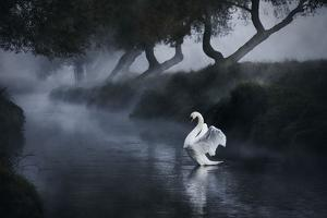 A Lone Mute Swan Stretches its Wings in Richmond Park by Alex Saberi