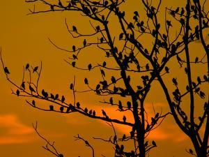 A Massive Group of Starlings Rest in a Tree at Sunrise by Alex Saberi