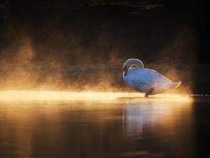 A Mute Swan, Cygnus Olor, Bathes in the Golden Morning Glow by Alex Saberi