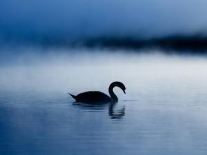 A Mute Swan, Cygnus Olor, Silhouetted Against the Morning Mist by Alex Saberi