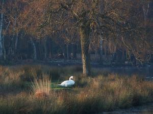 A Mute Swan, Cygnus Olor, Standing at Water's Edge in Winter by Alex Saberi