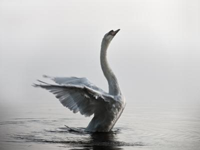 A Mute Swan, Cygnus Olor, Stretching its Wings in the Morning Mist by Alex Saberi