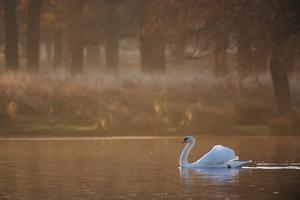 A Mute Swan, Cygnus Olor, Swimming in a Pond in Winter by Alex Saberi