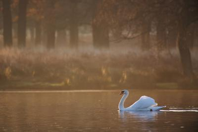 A Mute Swan, Cygnus Olor, Swimming in a Pond in Winter