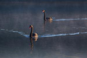 A Pair of Black Swan, Cygnus Atratus, on a Misty Lake in Brazil's Ibirapuera Park by Alex Saberi