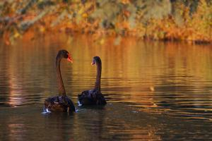 A Pair of Black Swans Glide on Ibirapuera Park Lake in the Evening by Alex Saberi