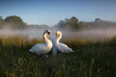 A Pair of Mute Swans, Cygnus Olor, Emerge from the Water on a Misty Morning in Richmond Park by Alex Saberi