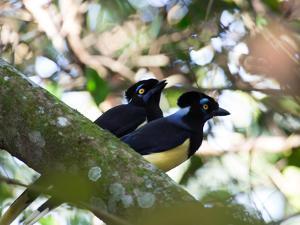 A Pair of Plush-Crested Jays, Cyanocorax Chrysops Near Iguazu Falls by Alex Saberi