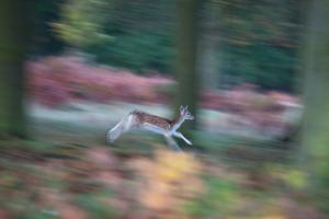 A Panned View of a Fallow Deer, Dama Dama, Running and Jumping Among Trees by Alex Saberi