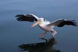 A Pelican Landing on the Water Near Walvis Bay, Namibia by Alex Saberi