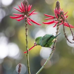 A Plain Parakeet, Brotogeris Tirica, Eats Petals of Coral Tree Flowers in Ibirapuera Park by Alex Saberi