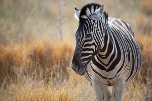 A Plains Zebra, Equus Quagga, Stands in Tall Grass at Sunset by Alex Saberi