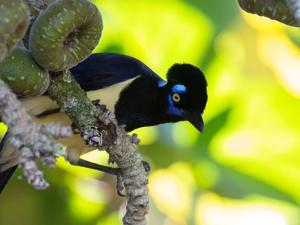 A Plush-Crested Jays, Cyanocorax Chrysops, Near Iguazu Falls by Alex Saberi