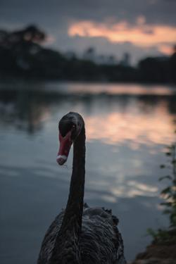 A Portrait of a Black Swan in Ibirapuera Park, Sao Paulo, Brazil by Alex Saberi