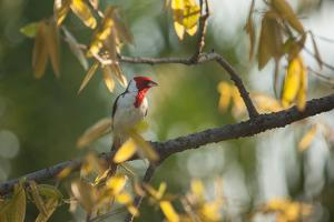 A Red-Cowled Cardinal Perching on a Tree in Sao Paulo's Ibirapuera Park by Alex Saberi