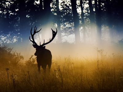 A Red Deer Buck, Cervus Elaphus, Comes Out from the Forest by Alex Saberi